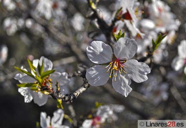 Y florecieron los almendros