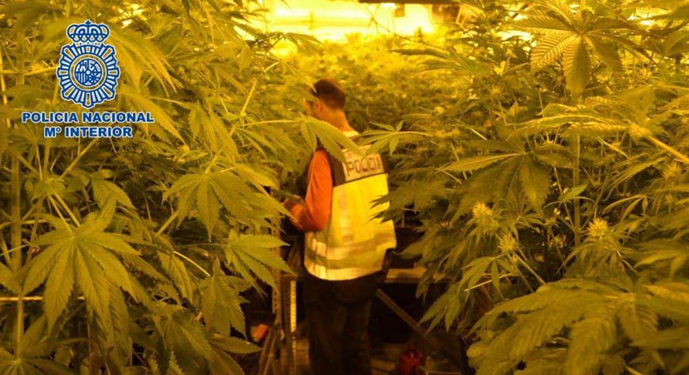 La Policía Nacional se incauta de casi 800 plantas de marihuana en un chalé de una urbanización de Linares