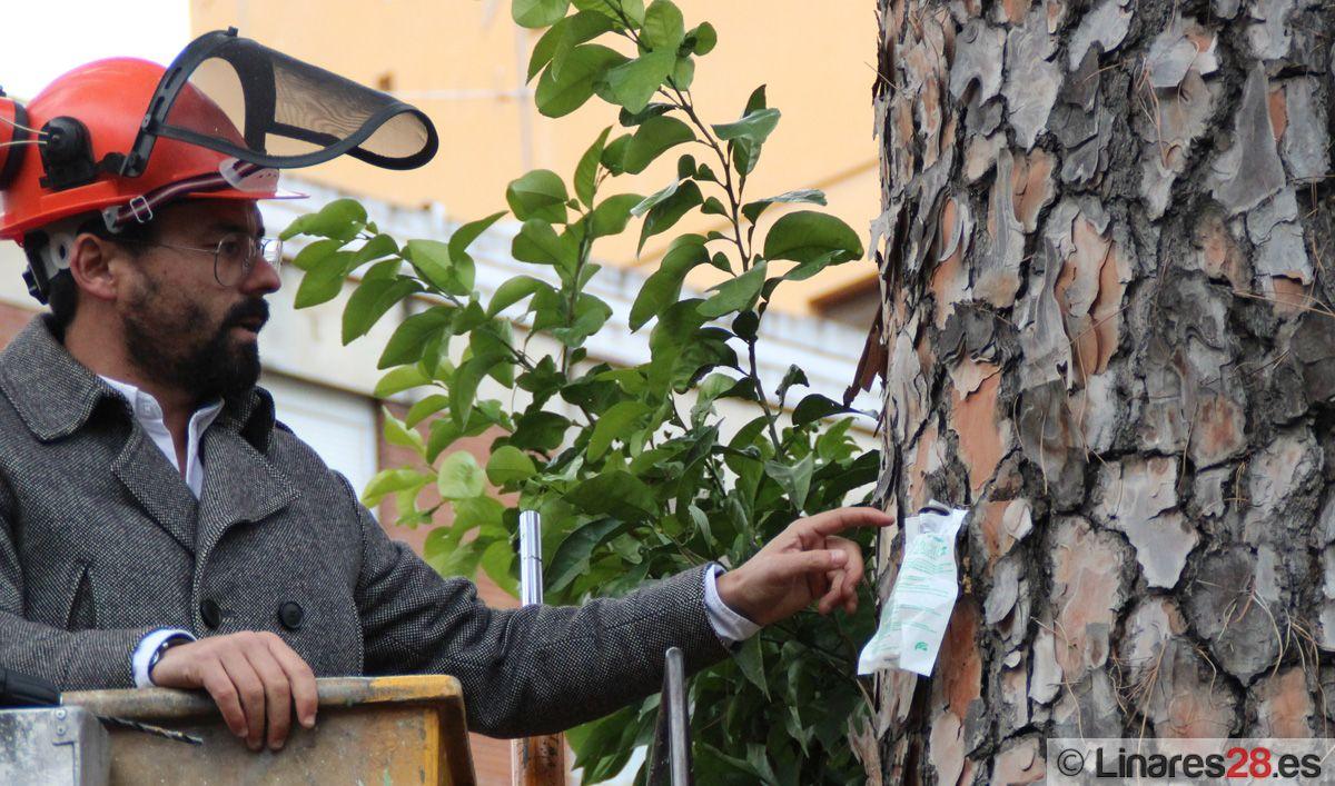 Momento de la aplicación con la nueva técnica en un pino de la Plaza de Santa Margarita