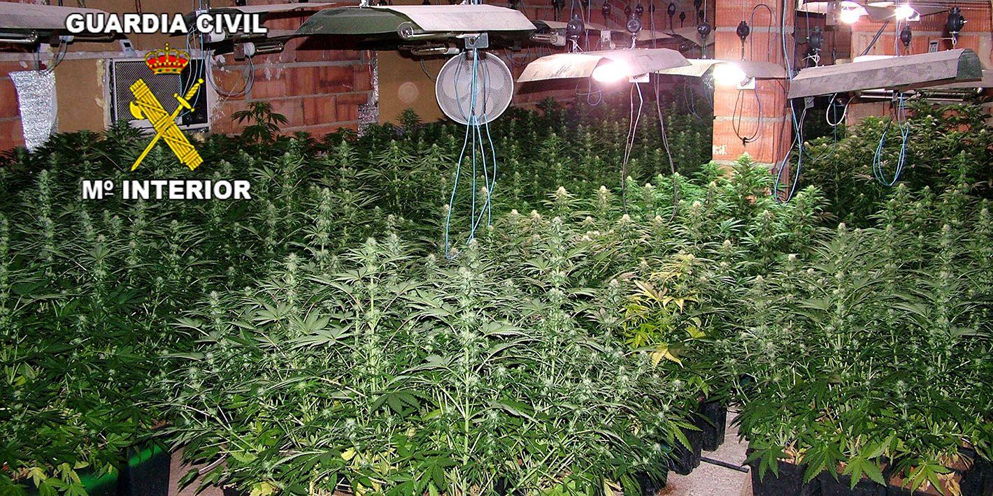Intervenidas 515 plantas de marihuana en Linares