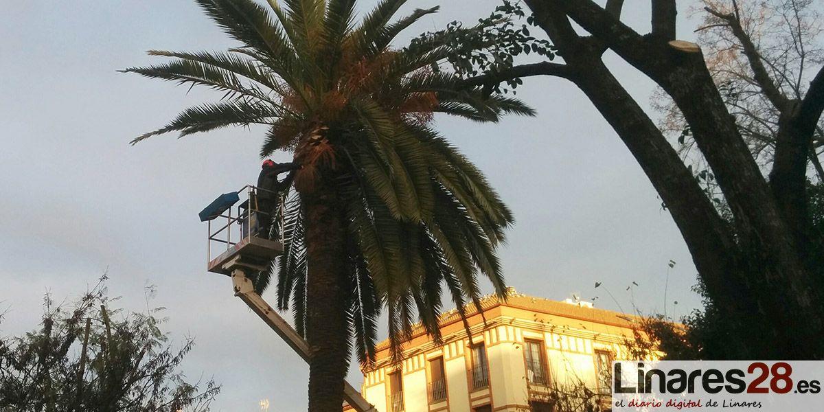Intensa poda a los árboles de la Plaza de Colón